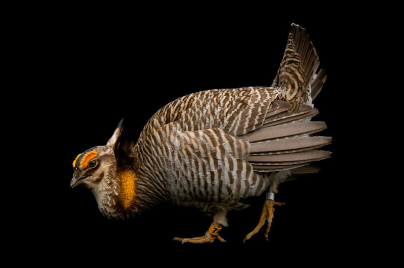 Pollo de pradera. Foto: Joel Sartore / National Geographic Photo Ark
