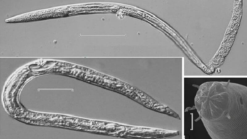Nematodos reviven en condiciones climáticas calurosas. Foto: Doklady Biological Sciences